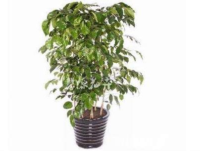 最新幸福树的养殖方法和注意事项