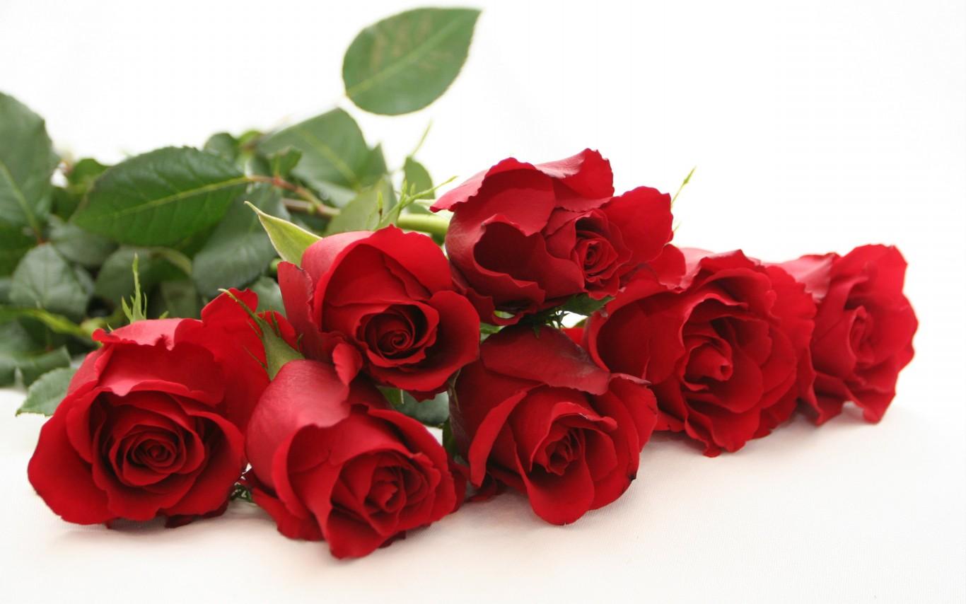 玫瑰花图片唯美