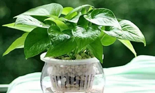 水培植物有哪些_水培有什么技巧