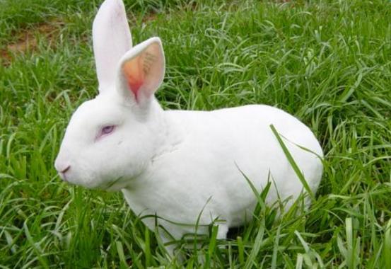 农村养什么兔子赚钱_养兔子的赚钱方法