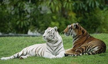 周公解梦梦见老虎是什么意思_周公解梦梦见老虎的各种解析_梦见老虎的寓意