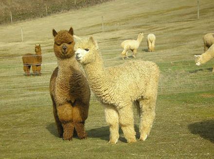 羊驼是什么意思_什么是羊驼