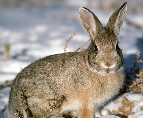 野兔的养殖技术_家养野兔的养殖技术