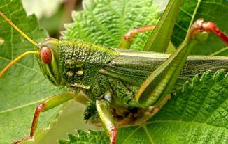 蝗虫养殖技术_食用蝗虫养殖技术