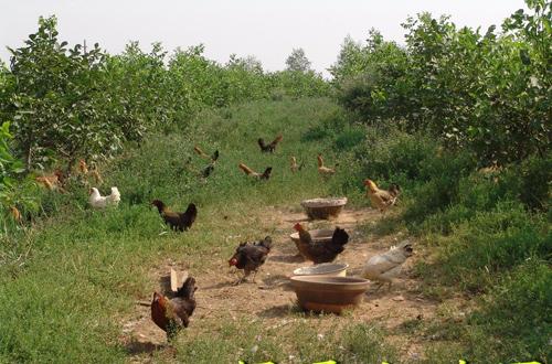 柴鸡养殖技术_柴鸡野外养殖技术