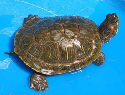 巴西龟的饲养方法图片