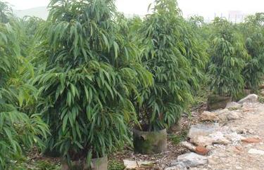 柳叶榕树的养殖方法有哪些?图片