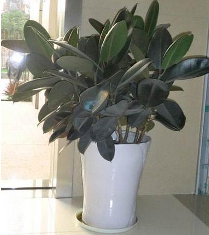 盆栽橡皮树的养殖方法