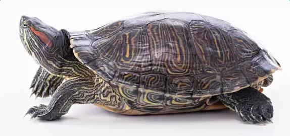 巴西龟饲养方法图片